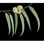 Eucalyptus radié bio 10ml