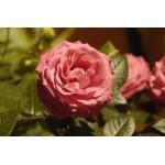 Rose de Damas 1ml